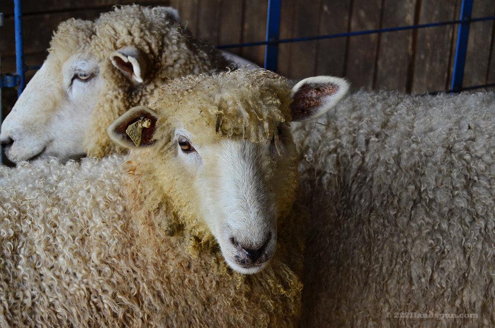 Sheep Waiting To Be Sheared© 222 Handspun