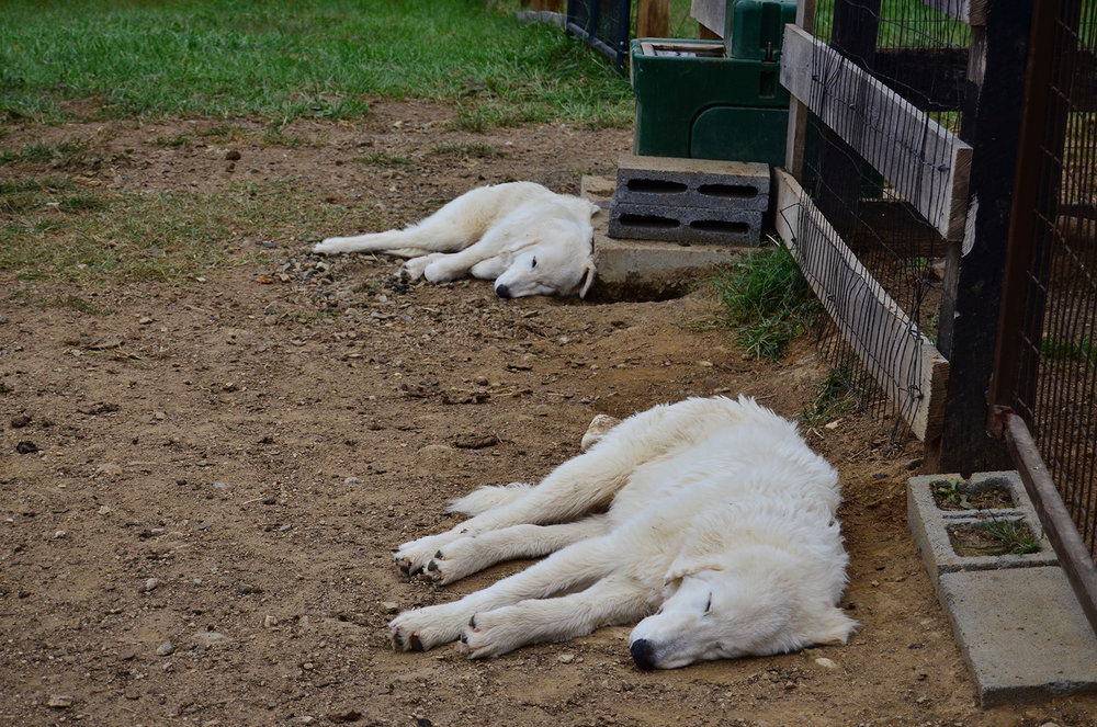 Maremma Guardian Dogs