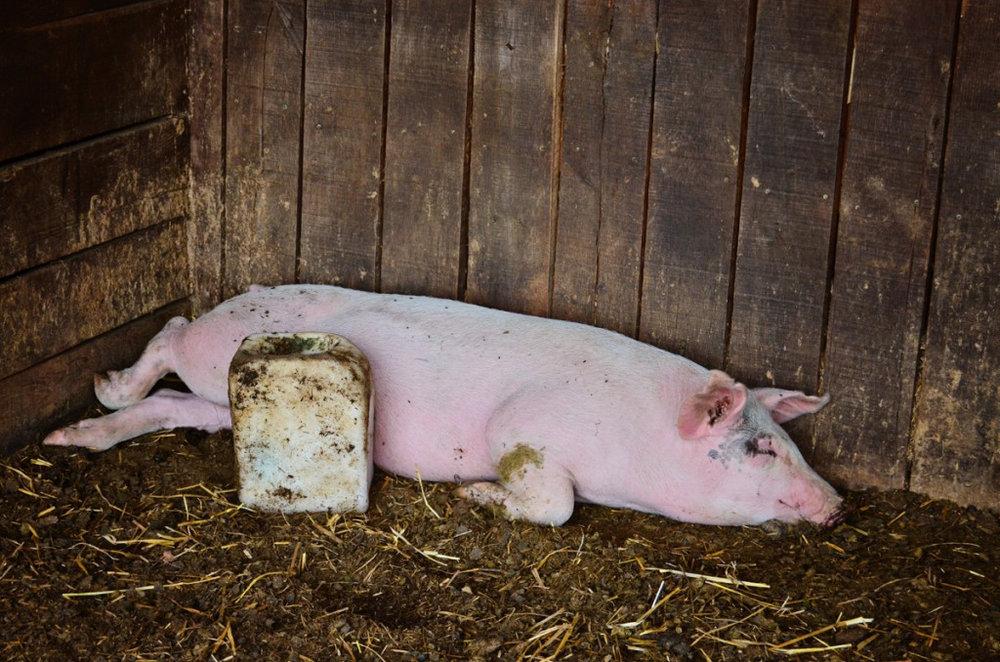 Pig Resting