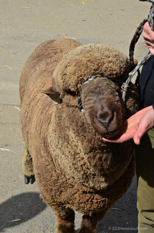 Moorit Merino Sheep MDSW 2017 Black Sheep Farm