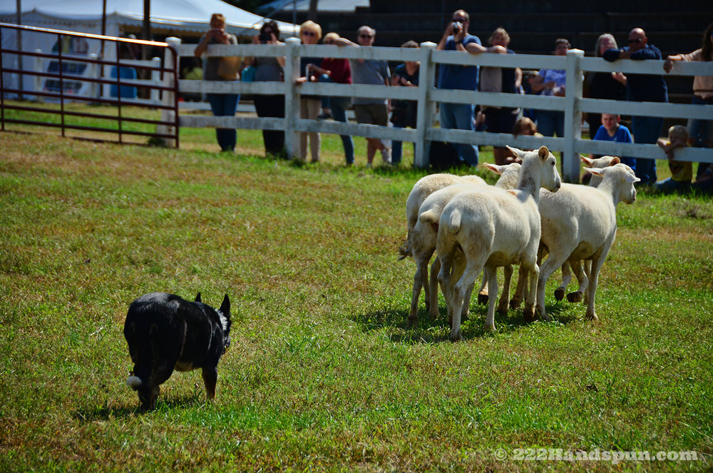 sheep dog demo_2409 copy.jpg