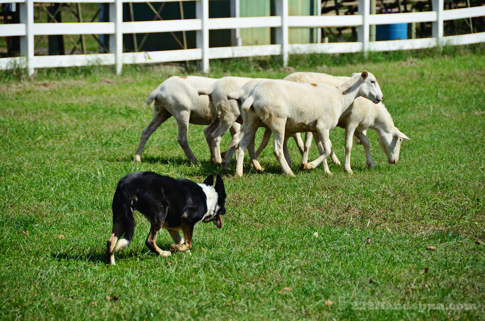 sheep dog demo_2420 copy.jpg