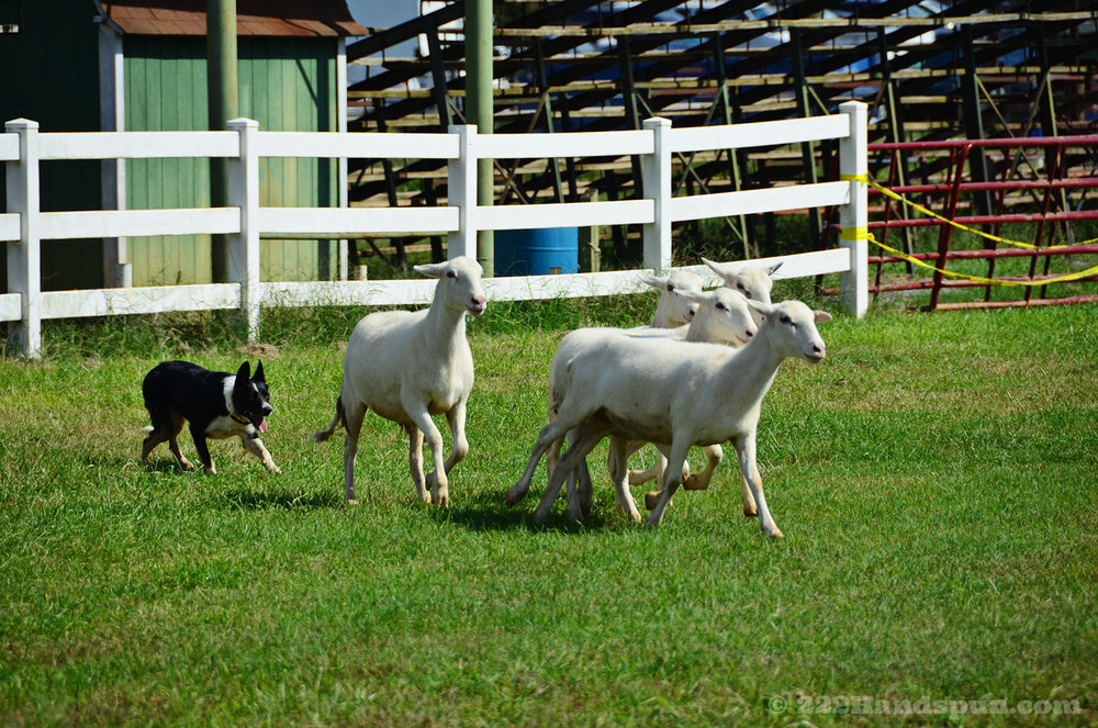 sheep dog demo_2426 copy.jpg