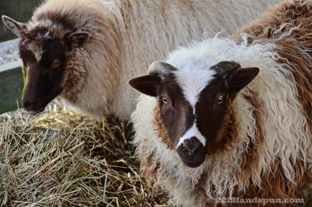 Shetland Sheep - Phoenix Farm Fiber