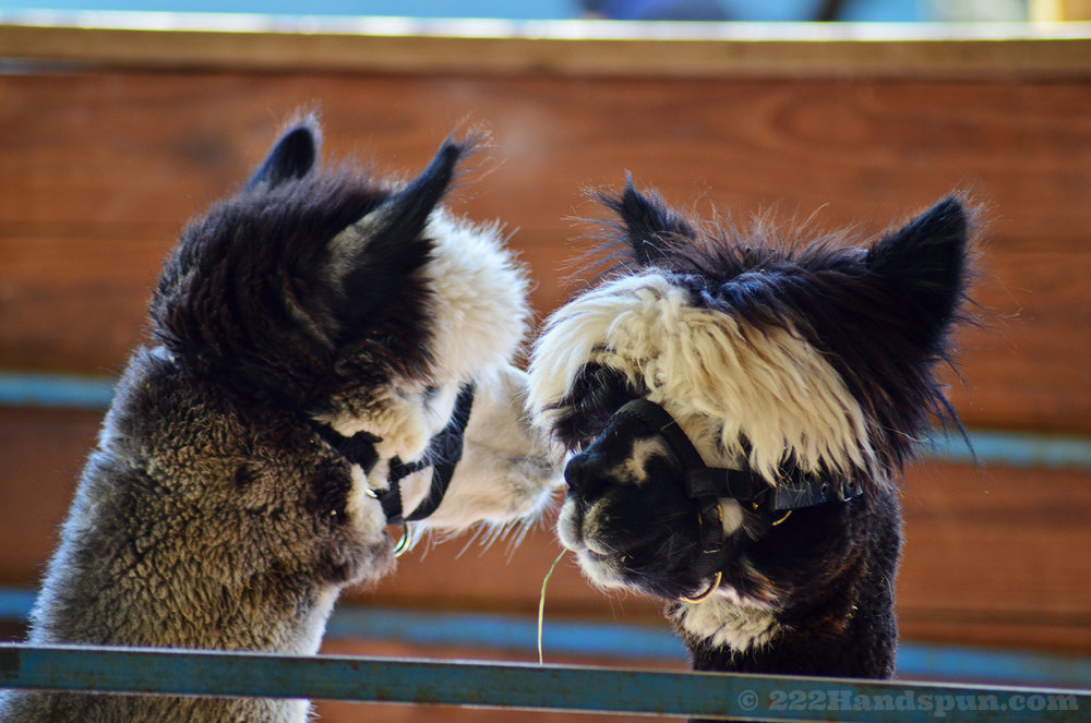 Alpacas at MD Alpaca Festival