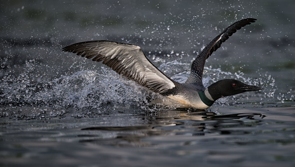 Common loon territorial battle photography workshops
