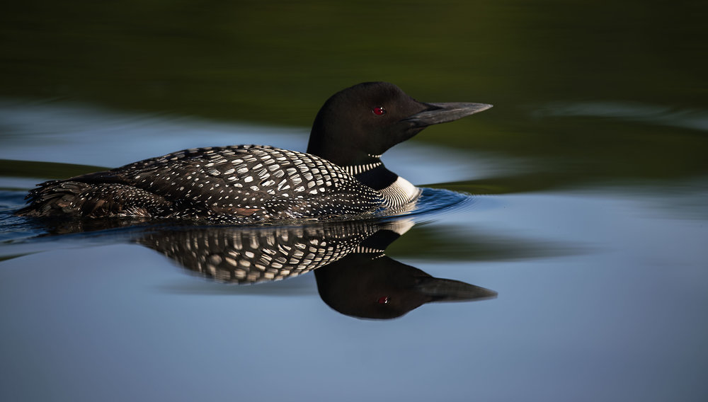 Common Loon photo tours Canada
