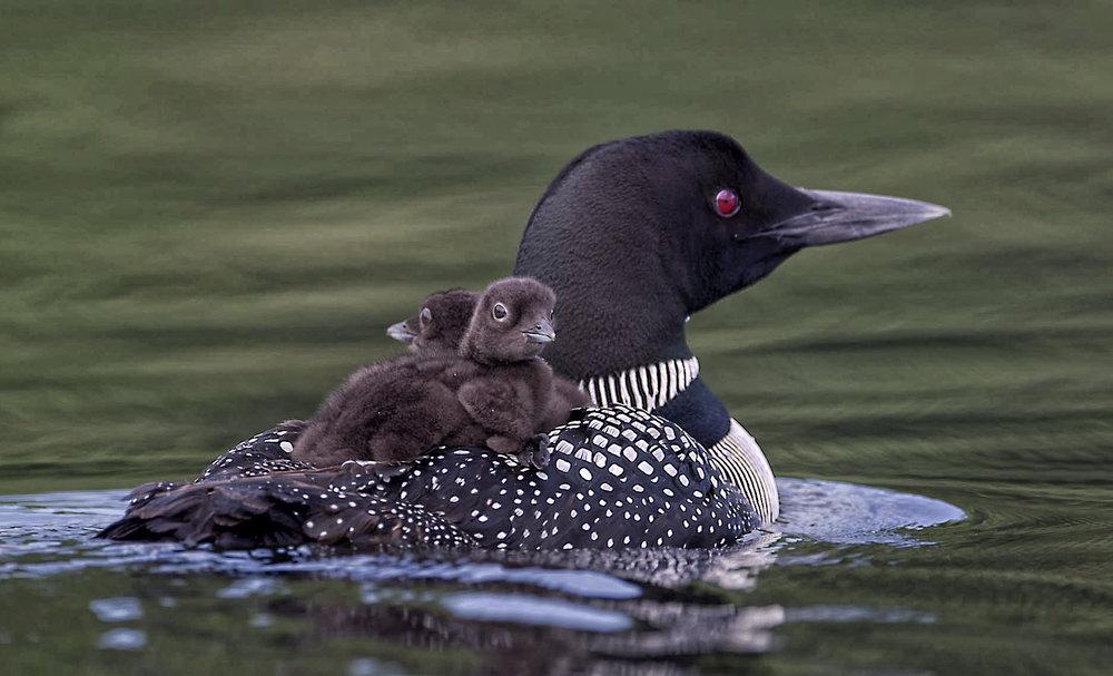 Chicks Mom Day 7.jpg