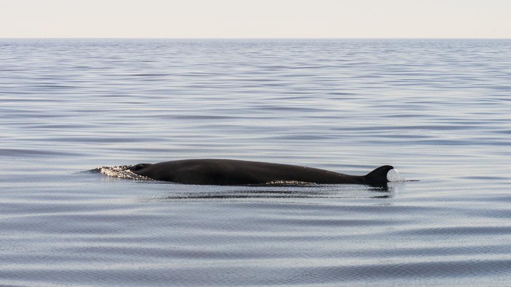 Minke whale 1.jpg