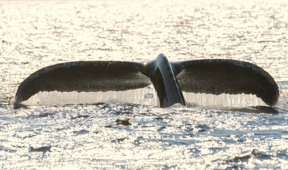Backlit humpback whale tail Chris Pepper Newfoundland photography workshop