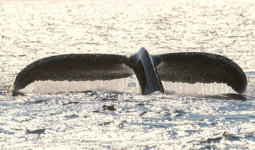 humpbacktail.jpg