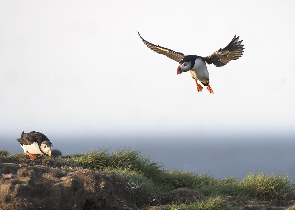 incoming puffin.jpg