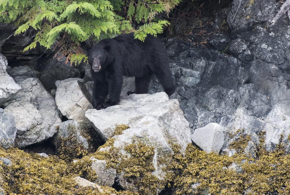 SanoraIsland Black bear.jpg