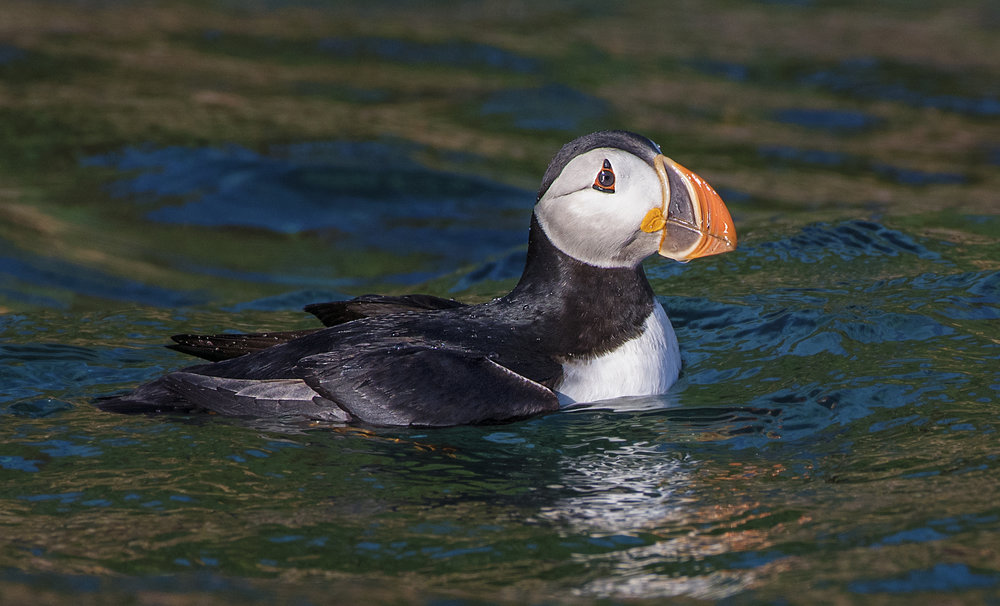 puffin in the water re edit.jpg