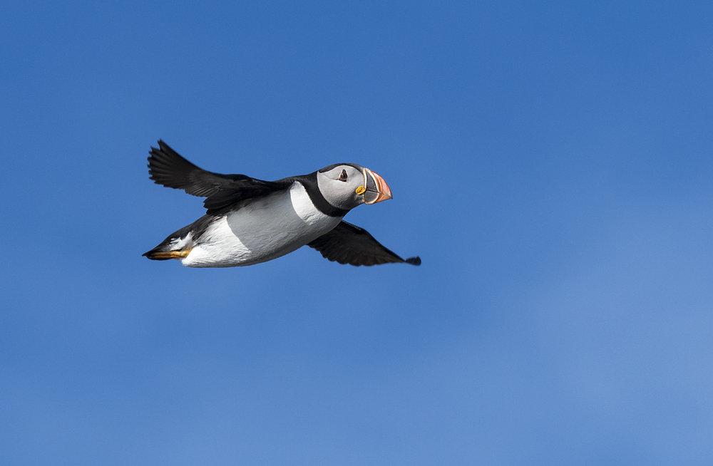 puffin in nice light in flight.jpg