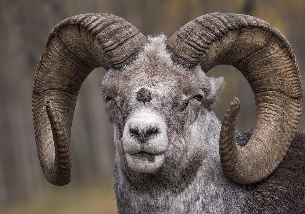 Grumpy sheep.jpg
