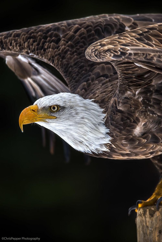 Bald Eagle Portriat.jpg