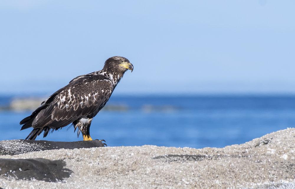 J bald eagle BC.jpg