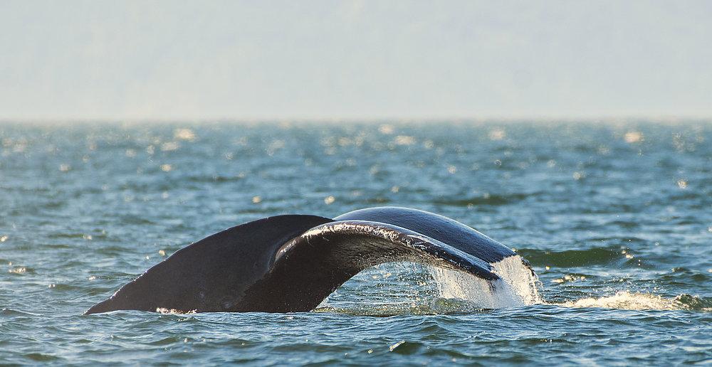 Sunlit whale tail BC.jpg