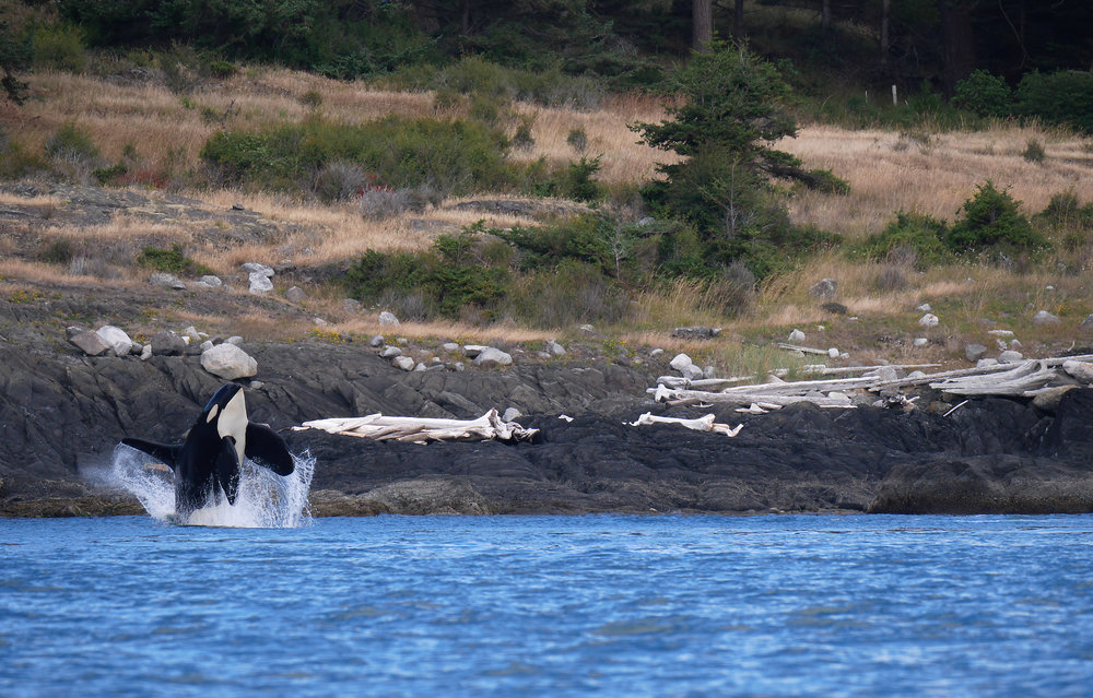 breaching orca whale photo tours
