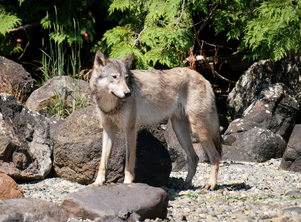 BC wolves photography workshops