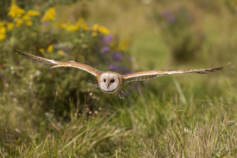 barn owl in flight.jpg