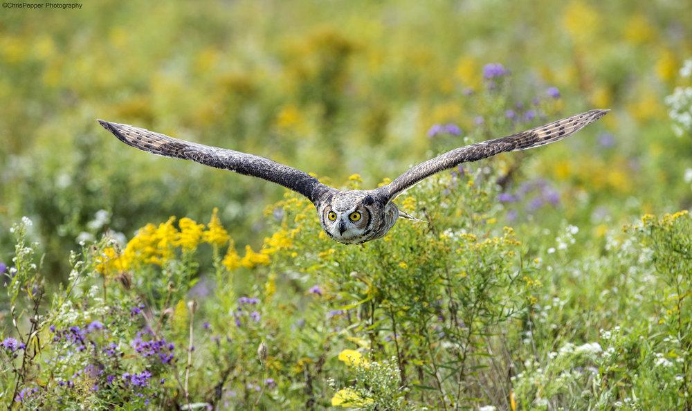 Fall Great Horned Owl.jpg