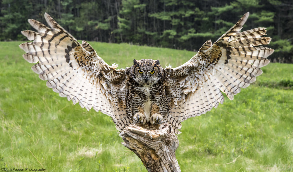 Great Horned coming in.jpg