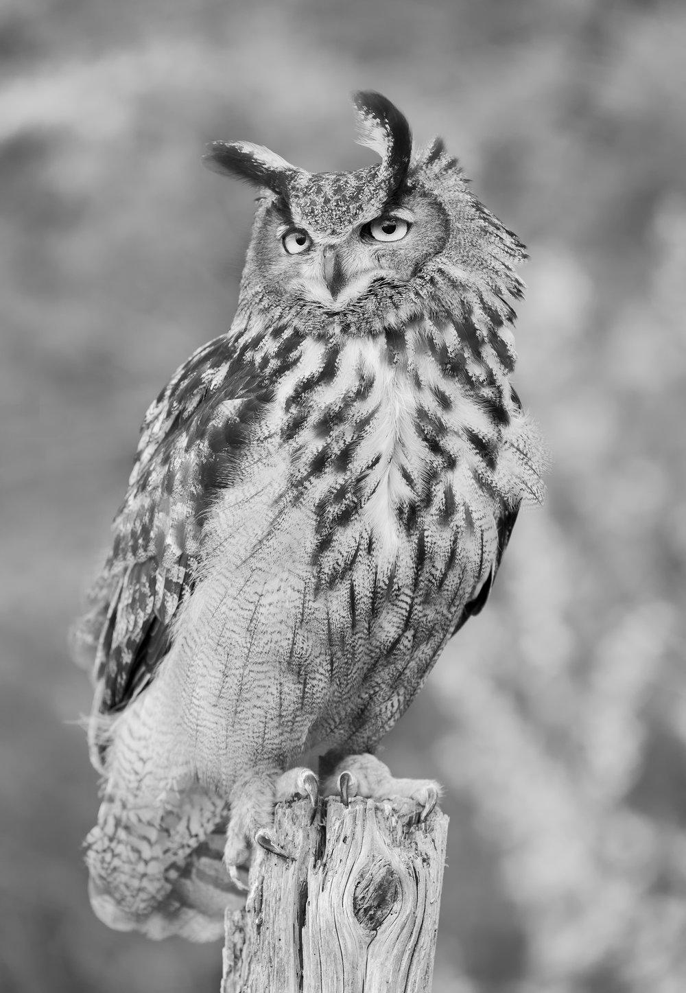 Eurasion eagle Owl B&W.jpg