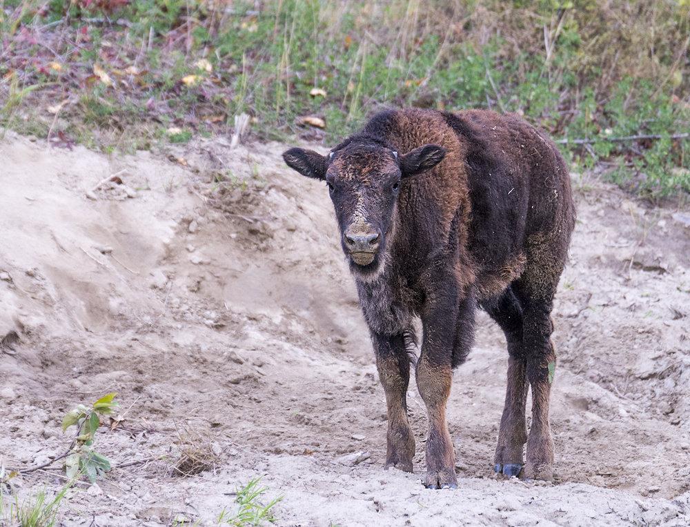 Bison Calf .jpg