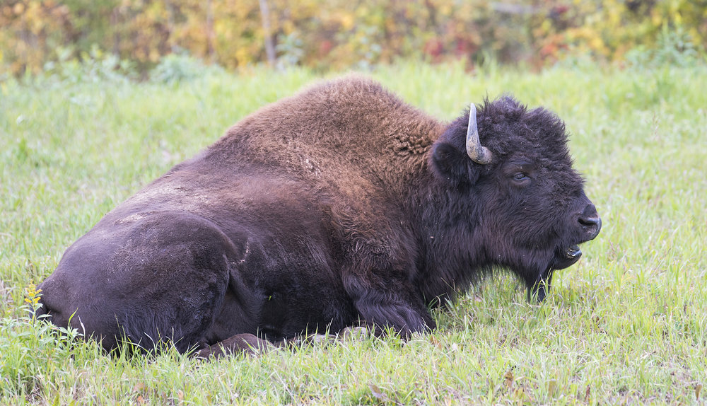 Bison hanging out in the grass.jpg