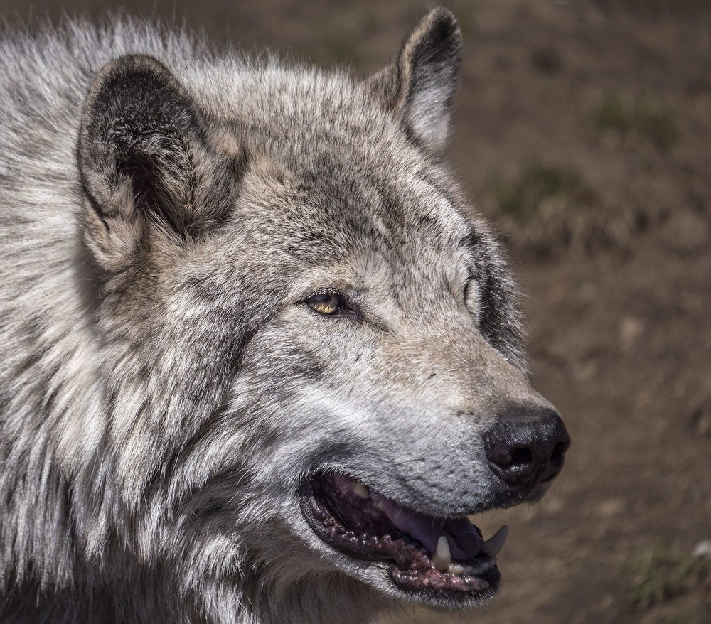 wolf head shot 1.jpg
