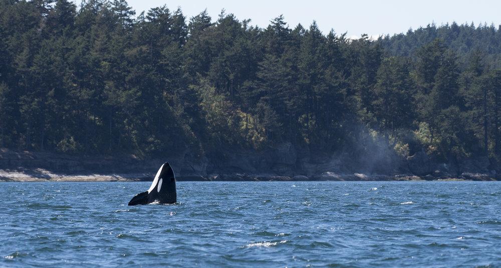orca spyhop.jpg