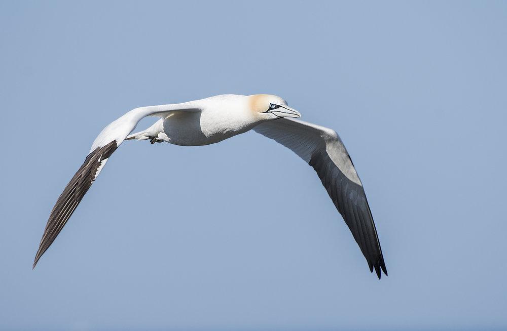 Gannetin flightNL.jpg