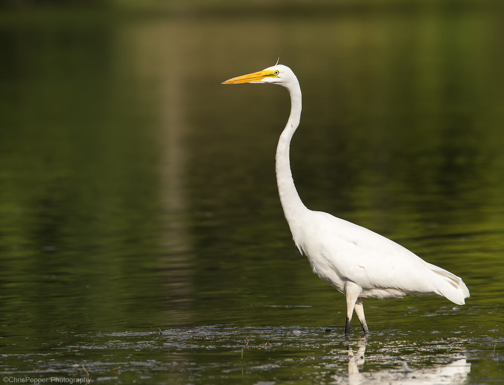 Great Egret 1.jpg