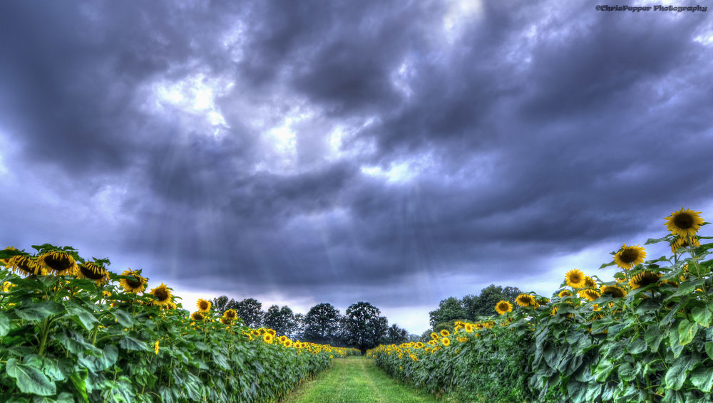 sunflower field hdr.jpg