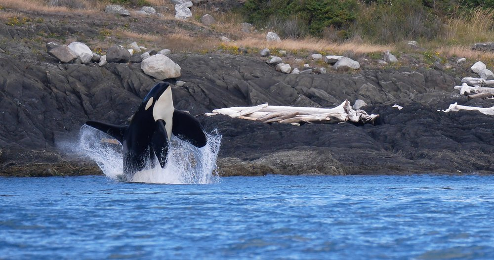 Orca whale breach Chris Pepper