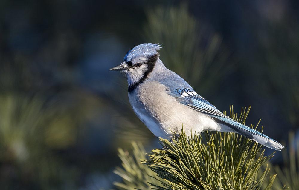 Blue Jay .jpg