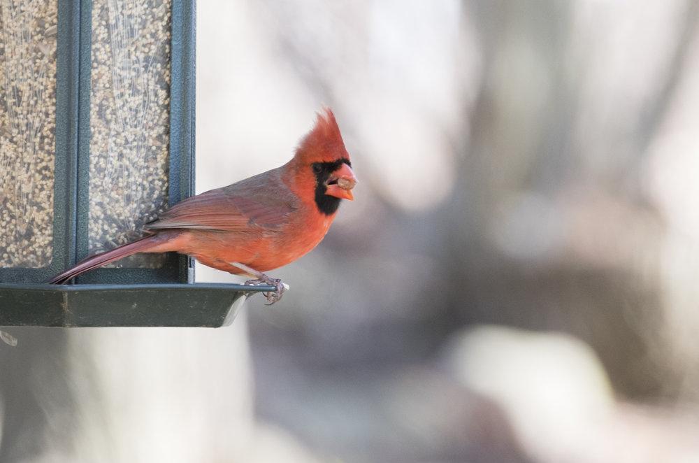 cardinal .jpg