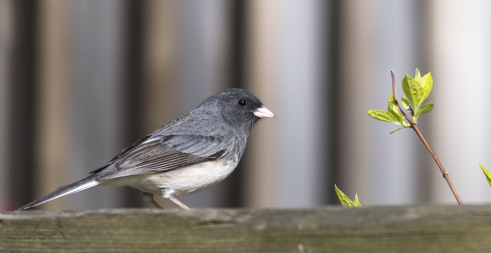 Dark eyed Junco .jpg