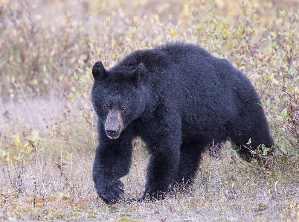 BC bear from yukon.jpg