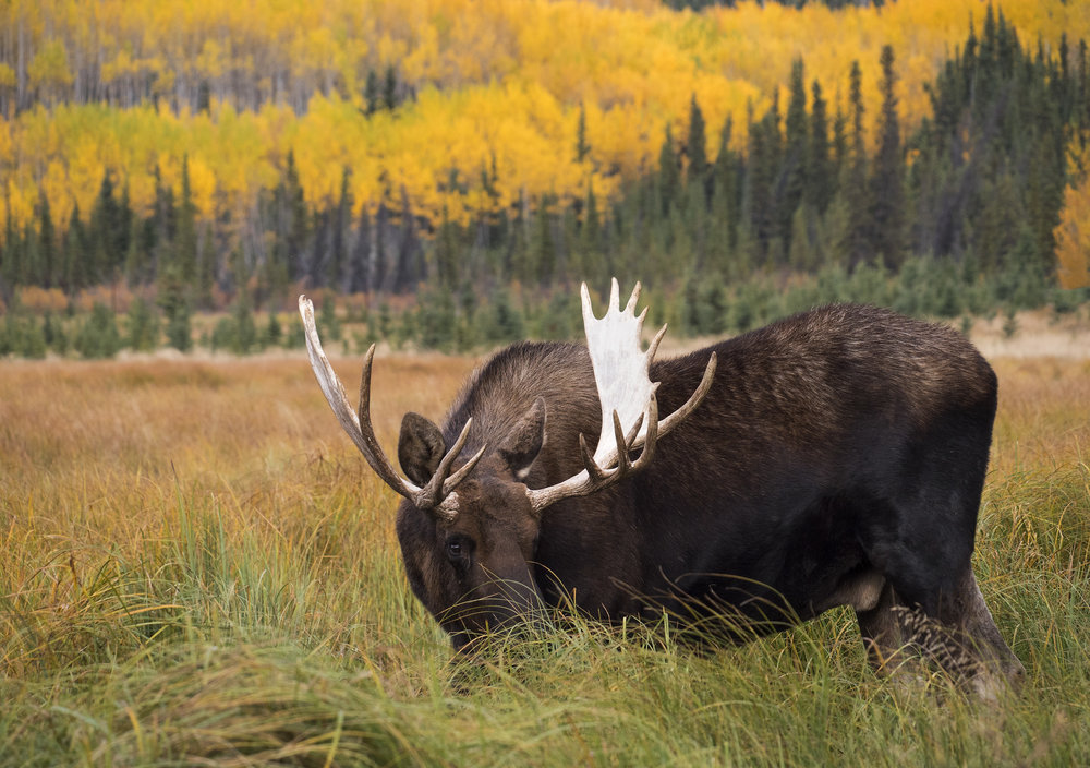 Fall colour moose.jpg