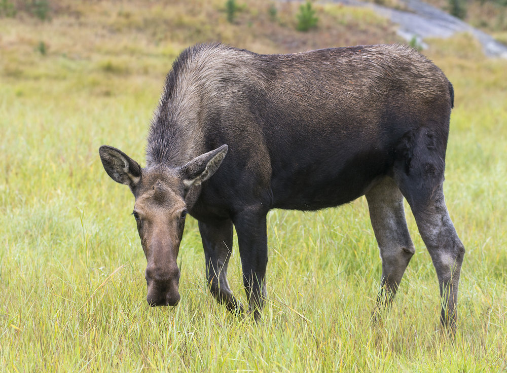 Moose photography workshops in Canada