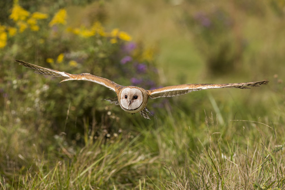 Barn Owl - ( Flight and Static Photos )The Barn Owl is a relatively small owl species (35-45 cm, 450-550 gm) with a heart-shaped facial disc, no ear tufts, dark eyes, a white breast and golden-buff feathers on its back. It hunts at dusk and through the night for mice, voles and shrews in open grassy areas such as old farm fields, wet meadows, tallgrass prairie, and grassed ditch banks and wetland edges.