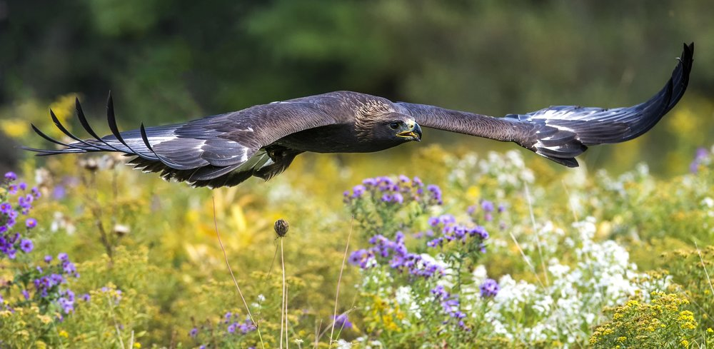 Golden Eagle - ( Flight and Static Photos )The Golden Eagle is one of the largest, fastest, nimblest raptors in North America. Lustrous gold feathers gleam on the back of its head and neck; a powerful beak and talons advertise its hunting prowess