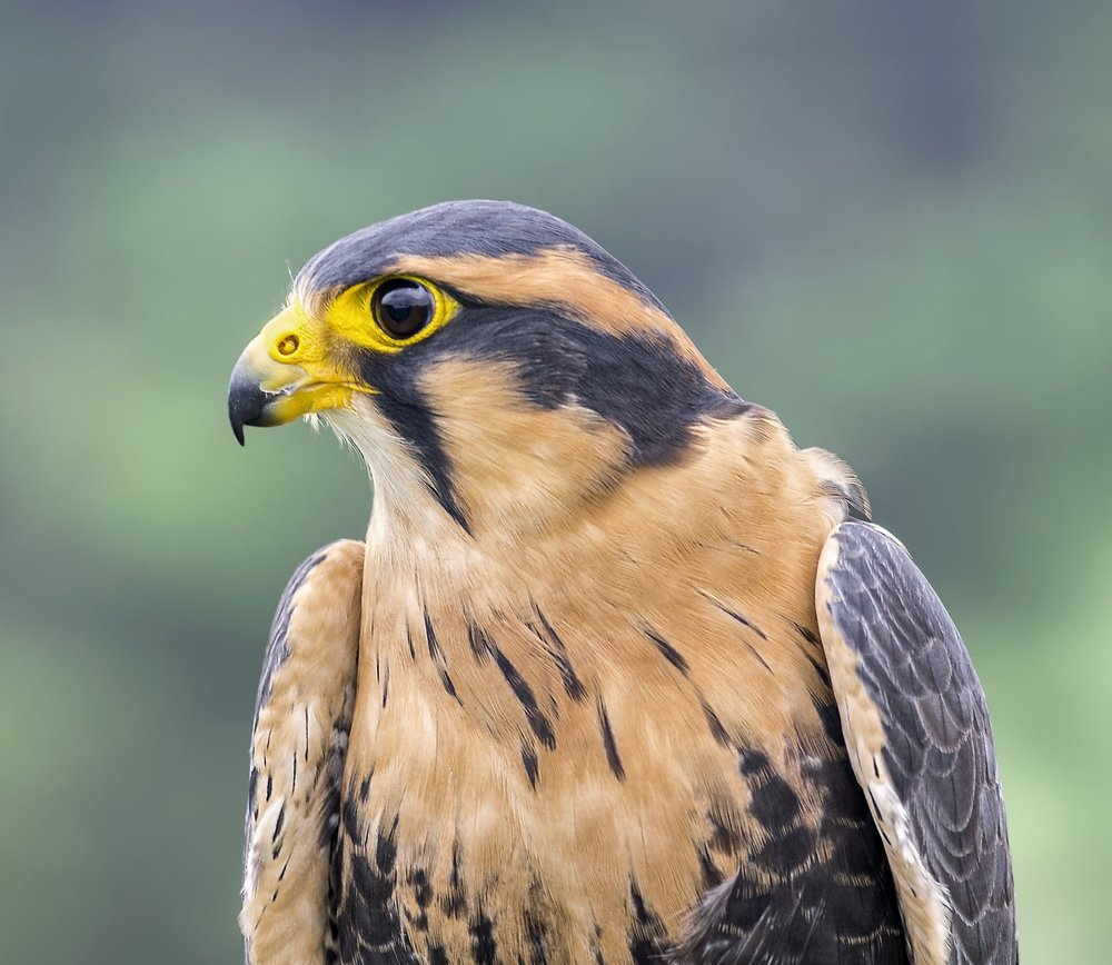Aplomado Falcon - ( Seasonal Static Photos )The aplomado falcon is a medium-sized falcon of the Americas. The species' largest contiguous range is in South America, but not in the deep interior Amazon Basin.