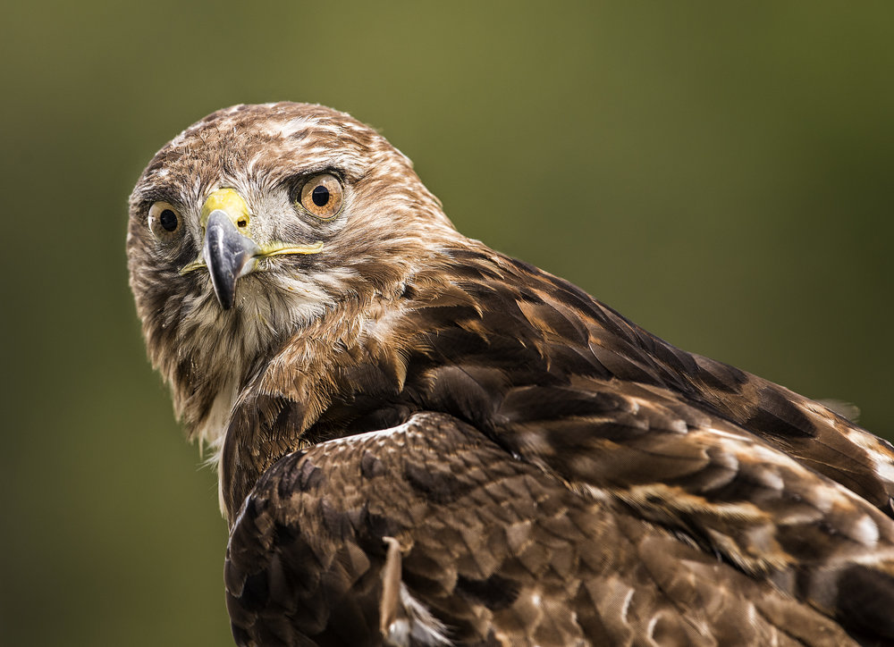 Red-tailed Hawk  - ( Flight and Static Photos )The red-tailed hawk is a bird of prey, one of three species colloquially known in the United States as the