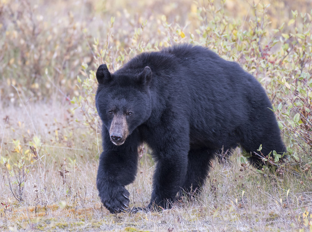 Momma Black Bear in Yukon by Chris Pepper