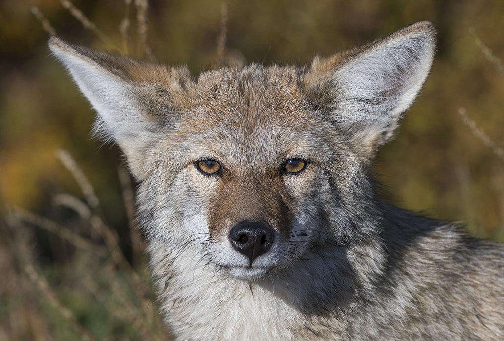 Coyote portrait in Yukon By Chris Pepper