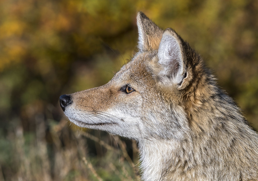 coyote head shot.jpg